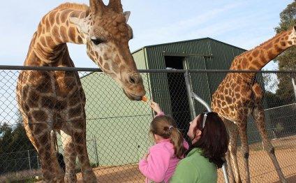 File:Giraffa camelopardalis