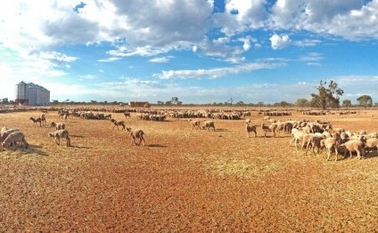 Sheep on the dry ground at