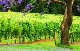 Bago Vineyard Wauchope Image Credit: Bago Vineyard