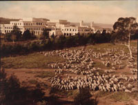 Photo of sheep on a hillside right close to Parliament House